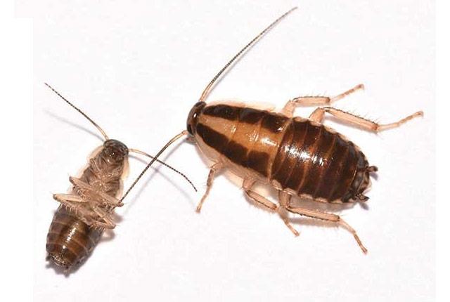 cock-roach