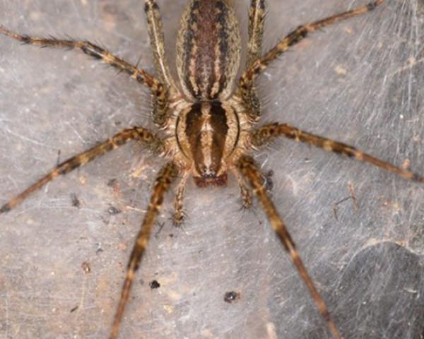 Stinging Insects Silverfish Saskatchewan Spiders Roof Rat