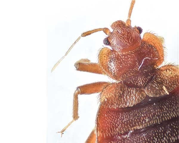 Bed-bug-head-and-thorax