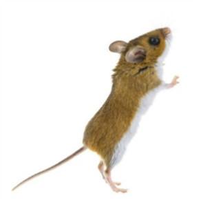 Deer-mouse-02
