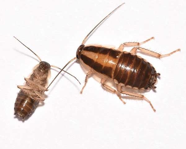 German-cockroaches