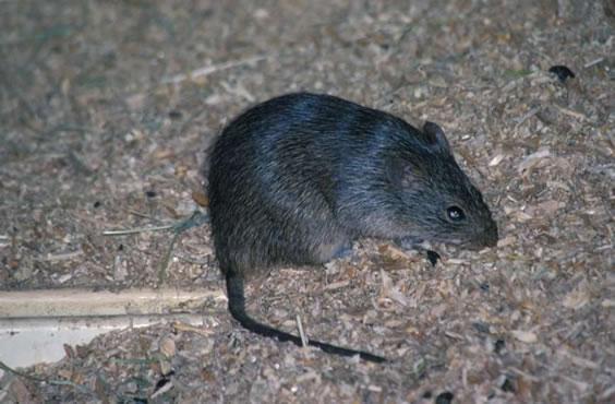 Norway Rat (4)