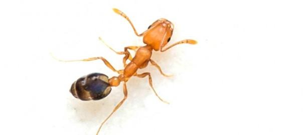 Pharaoh-Ant2
