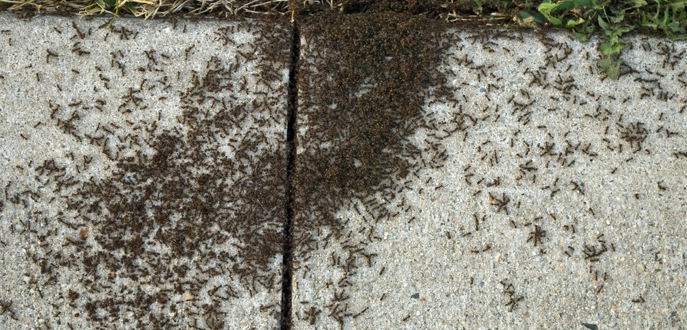 ant-pavement-infestation-001[1]