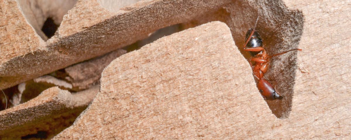 carpenter-ant-in-damaged-wood