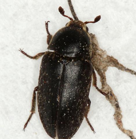carpet-beetle