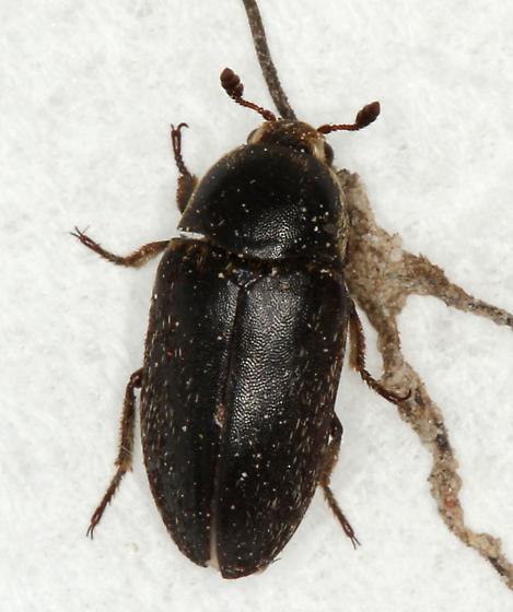 Black Carpet Beetle