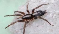 eastern-parson-Female