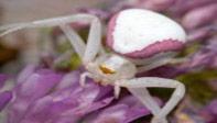 golden-crab-Female