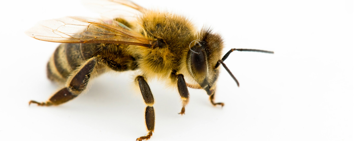 honeybee-whitebackground