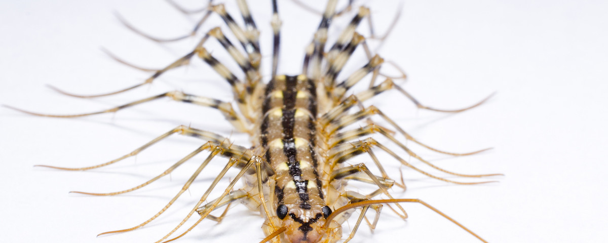house-centipede-head-no-text