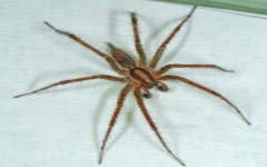male-grass-spider