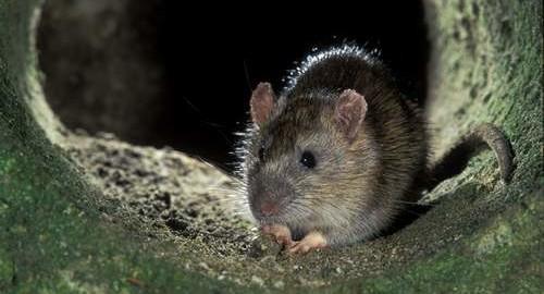 norway rat (3)