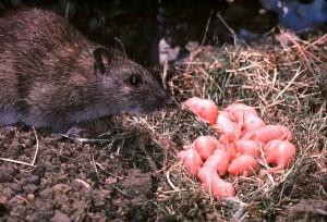 norway rat (5)
