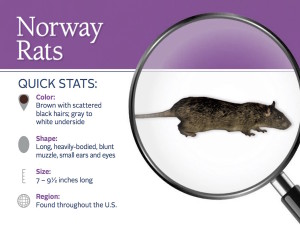 norway-rat-pest-id-card_front