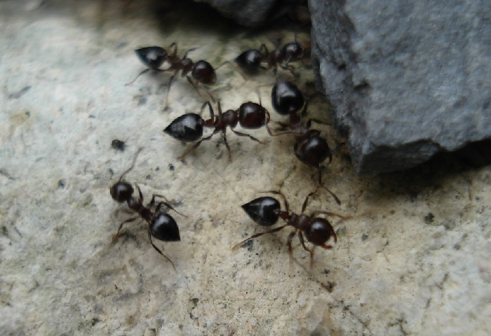 pavement_ants_on_stone061106_028[1]