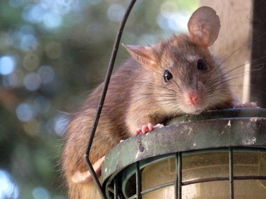 roof-rat-upper