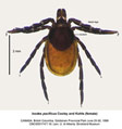 western-black-legged-tick