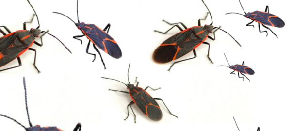 maple-bug-box-elder-bug