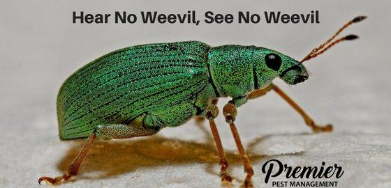 weevil premier pest
