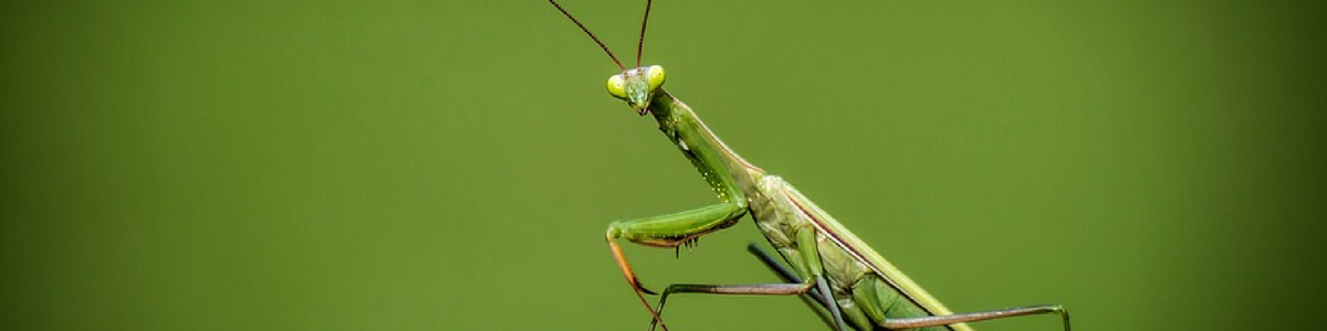 preying_mantis_inside_blog_pic