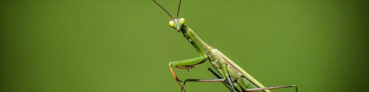 preying_mantis_inside_blog_pic