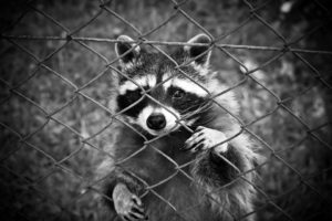 raccoon-1612593_960_720