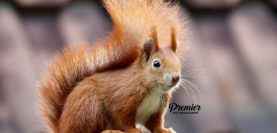 squirrels in house pest management saskatchewan pest control