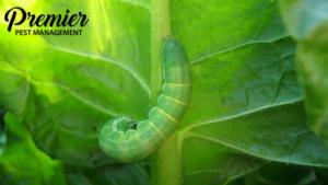 regina cankerworms